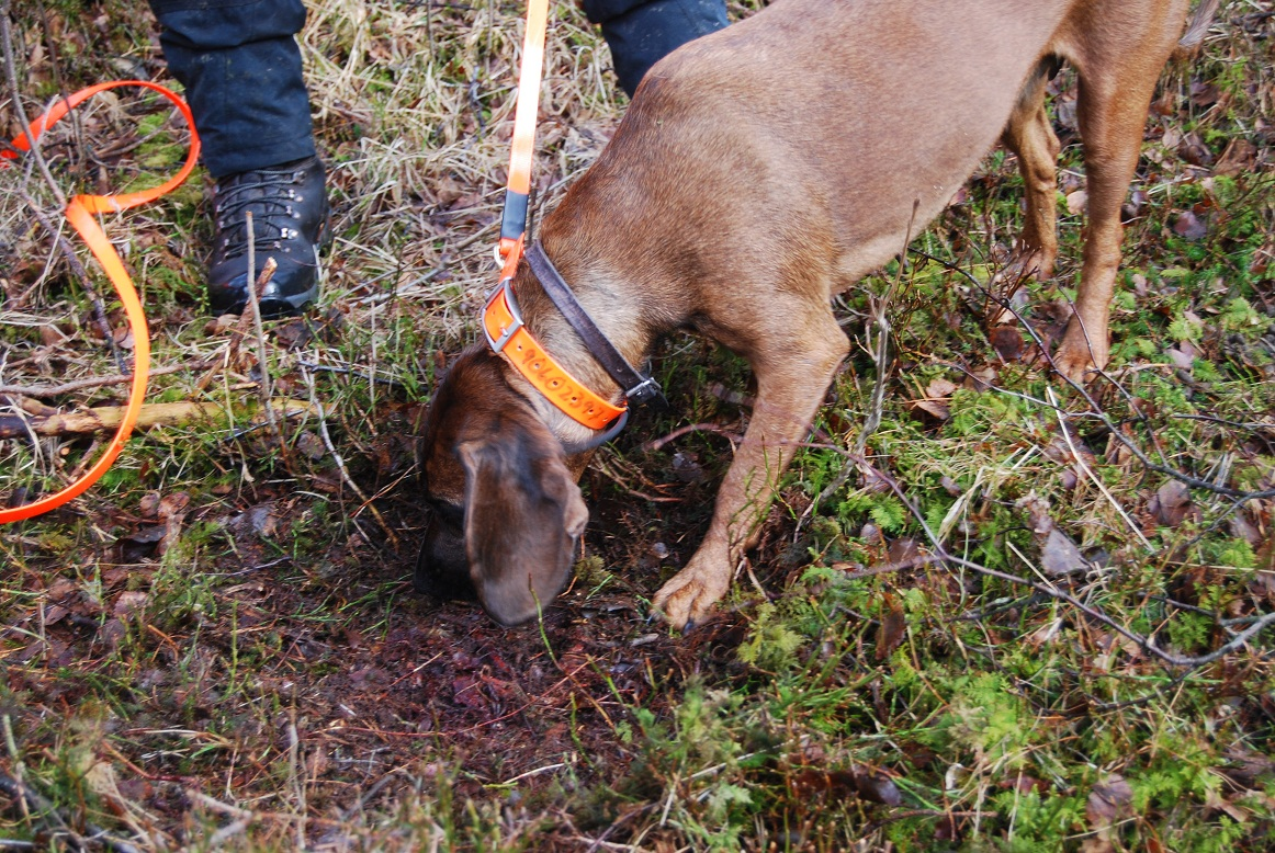 Sårleie, her vil hunden bli slept får å finne sporslutt slik den danske prøven er lagt opp
